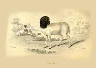 Persian Sheep